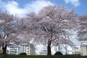 Hanami in Hiroshima