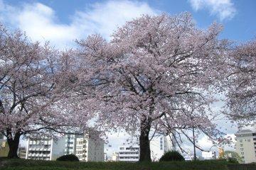 Сакуры в Хиросиме