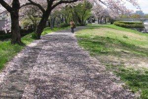 Sakura along the river side