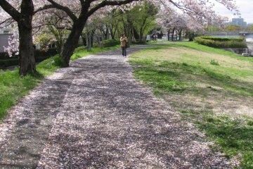 Сакуры вдоль реки