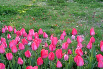 Тюльпаны на закате