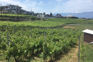 Vineyards behind the winery