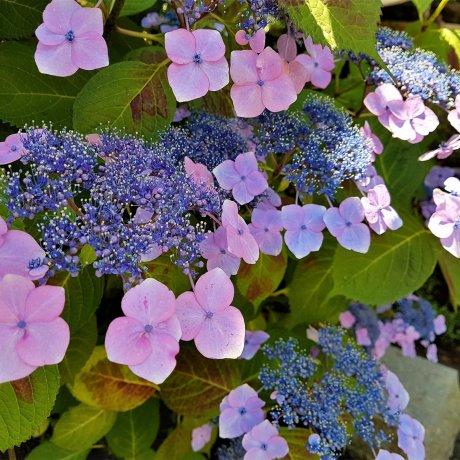 ฤดูสีฟ้าม่วงในคามาคุระ
