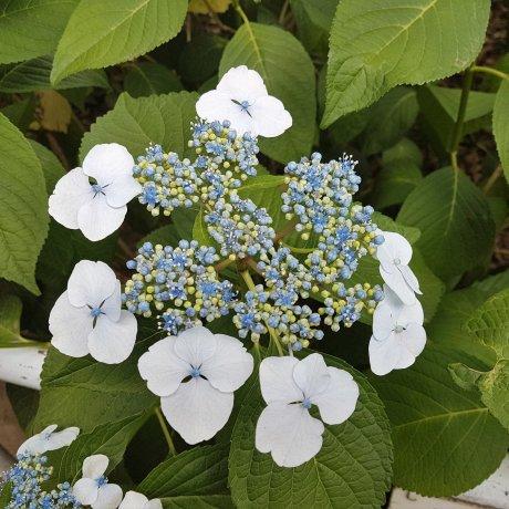 ดอกไฮเดรนเยียแห่งศาลเจ้าฮะคุซาน