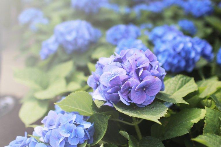 Công viên hoa cẩm tú cầu Michinoku