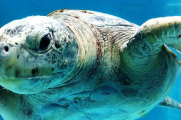 Get Close and Personal to the Giant Tortoise in the outdoor pool at Okinawa Churaumi Aquarium and Theme Park