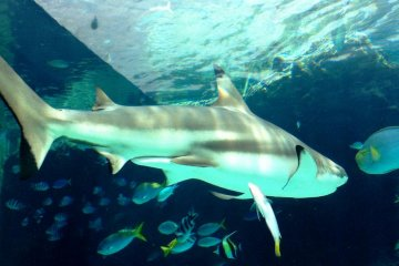 Elegant Sharks coexist with schools of fish at the Okinawa Churaumi Aquarium and Theme Park