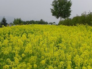 Cánh đồng xanh Furano