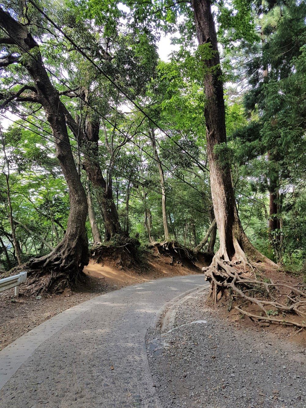 ต้นสนญี่ปุ่นหรือต้นซุกิบางต้นมีรากโผล่ขึ้นมาเหนือดิน คนญี่ปุ่นจึงให้ชื่อว่า'ทะคะโอะ-ซุกิ' (Tako-sugi) หรือต้นสนปลาหมึกยักษ์