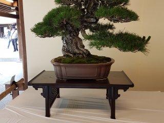 และหากคุณแวะมาชมศาลเจ้าเมจิ จินกุ ในช่วงเดือนมิถุนายน คุณก็ยังได้ชมนิทรรศการบอนไซและซุยเซะกิ ซึ่งเป็นศิลปะอันสวยงดงามของญี่ปุ่น