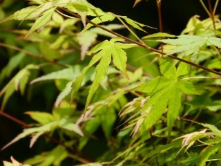 Lush and green momiji leaves