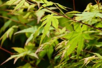 Hiroshima's Momiji Maple Leaves