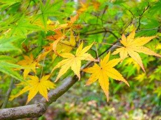 yellow and green momiji