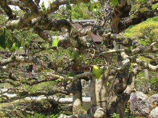 Одно из удивительных деревьев Японии