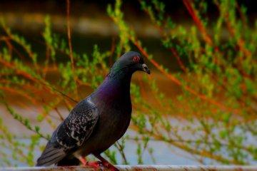 비둘기 대기 및 시청