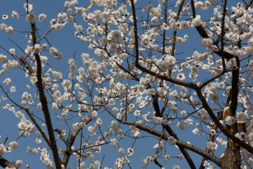 <p>There is a good mixture of different blossom colors: white here...</p>