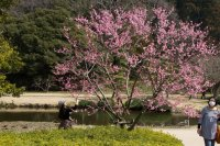 미토의 매화 꽃 축제