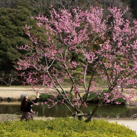 เทศกาลชมดอกบ๊วยบานที่เมืองมิโตะ