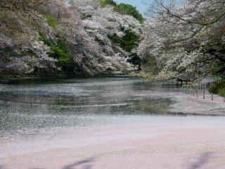 나는 이 사진을 매우 이른 아침에 연못에 떨어진 꽃잎과 함께 찍었다