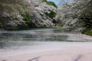 I took this photo very early in the morning with the fallen petals forming a pink carpet on the pond