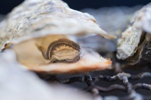 An oyster is ready to eat a little after the heat opens it up