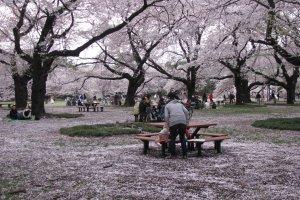 Во время цветения сакуры много пикников в парках