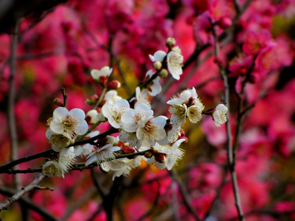 White on pink ume blossoms