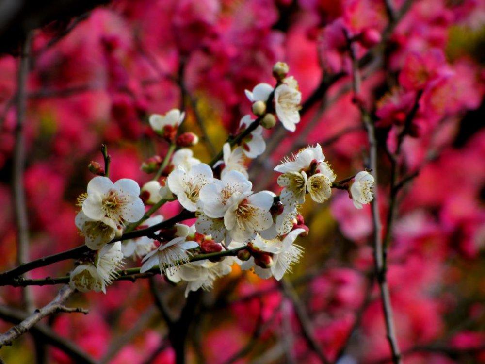 핑크색 우메꽃 위에 흰색