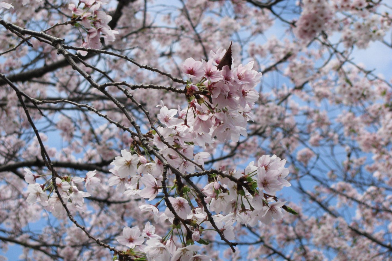 Сакура Хиросимы