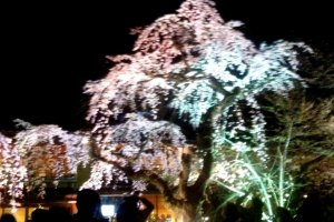 The Weeping Cherry steals the show at night fall at Gion Shirakawa in Springtime