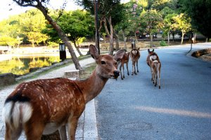 Close encounters with the wildlife on the way to Nara