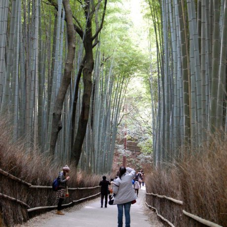 ป่าไผ่สะกะโนะในเกียวโต