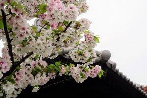 ดอกซากุระ ดอกไม้สุดที่รักของคนญี่ปุ่น