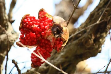 An overripe pomegranate bursts open on the branch, revealing the red jewels of its fruit.