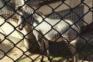 Look Mom! A zebra!