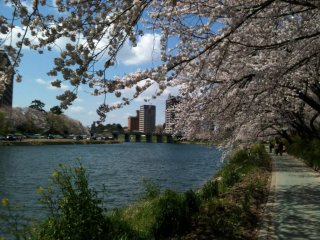 Sakura line the Yahagi River provind a perfect place for a picnic.