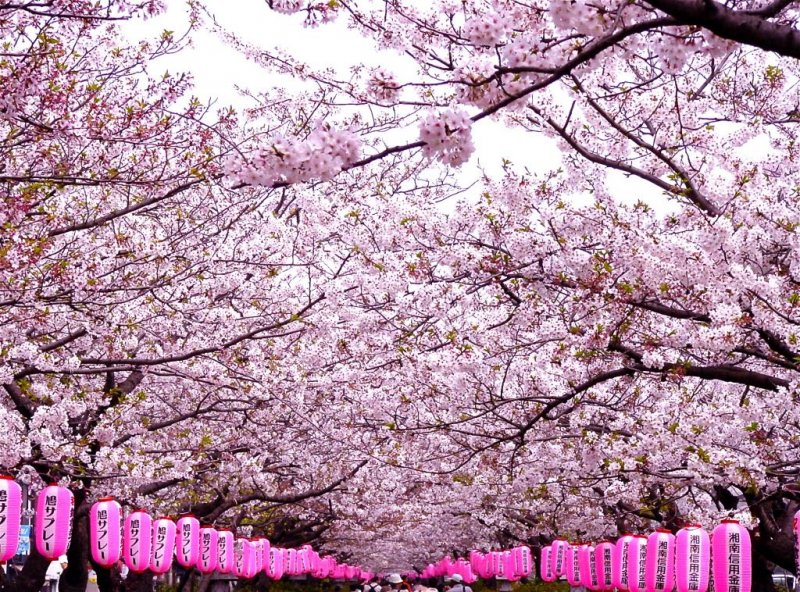 카마쿠라의 와카미야오지 길은 벚꽃과 등불들로 줄지어져 있다.