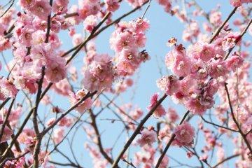 เทศกาลดอกพลัม Setagaya