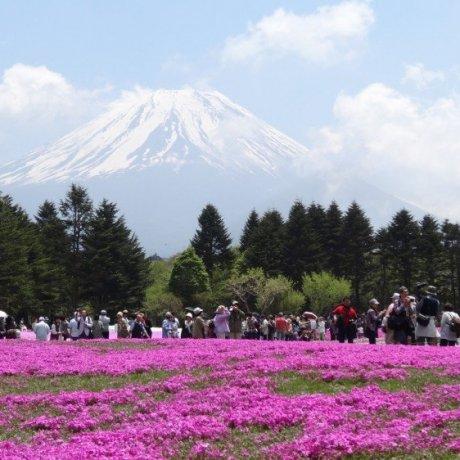 งานเทศกาลฟูจิชิบะซะกุระ