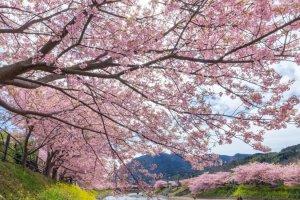 งานเทศกาลคะวะซุ ซากุระ