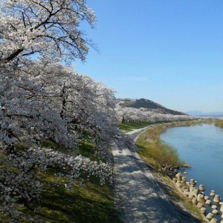 เทศกาลชิบะตะ ซากุระ