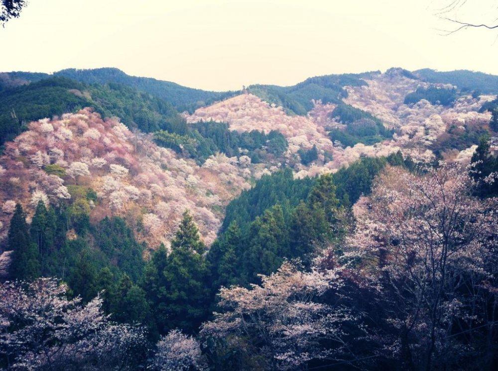 Mount Yoshino Blossoms in April