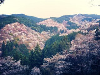 Hoa anh đào trên núi Yoshino nở vào tháng 4