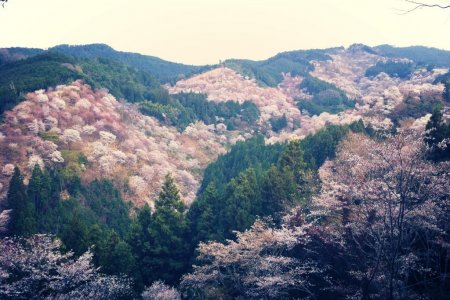 Hoa anh đào trên núi Yoshino, Nara