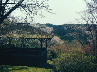 Far in the distance / on lovely Mount Yoshino / cherry blossoms must have opened / for as I gazed / I thought I saw snowdrifts there.