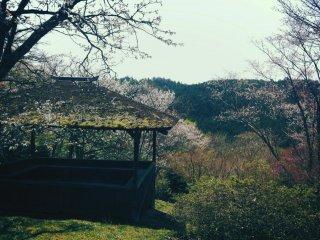저 멀리 / 사랑스러운 요시노 산에 / 분명 벚꽃이 피었으련만 / 그 곳을 바라보는 동안 / 나는 눈꽃이 휘날린다고 생각했다.