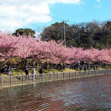 งานเทศกาลดอกซากุระที่ Miurakaigan