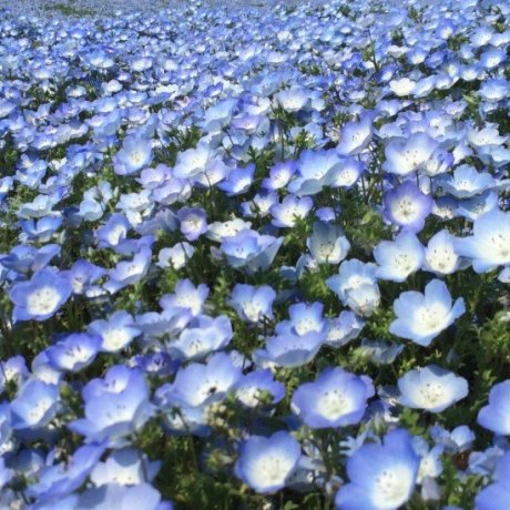 เทศกาล Nemophila Harmony ที่สวน Hitachi Seaside Park