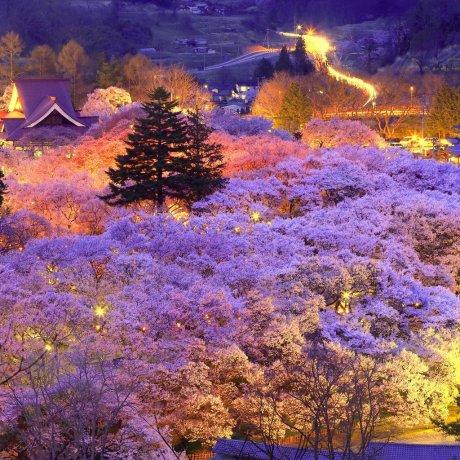 เทศกาลดอกซากุระแห่งปราสาททะคะโตะ