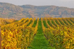 The vineyards in autumn